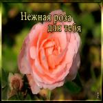 Картинка картинка нежная роза для тебя