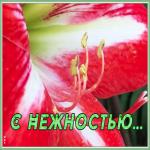Открытка картинка с лилией с нежностью