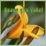 Картинка живая открытка с лилией
