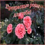 Картинка живая открытка с розами